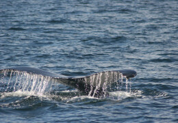 Photo of a whale's tail above the water.